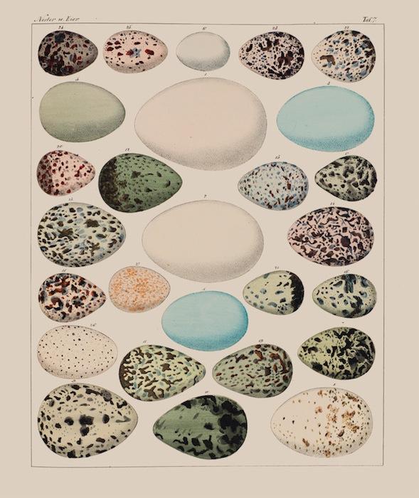 Коллекция яиц, Лоренц Окен, «Основы естественной истории для всех» (1779-1851)