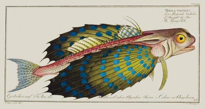 Морской петух, иллюстрация из энциклопедии о рыбах Маркуса Элиезера Блоха (1723-1799)