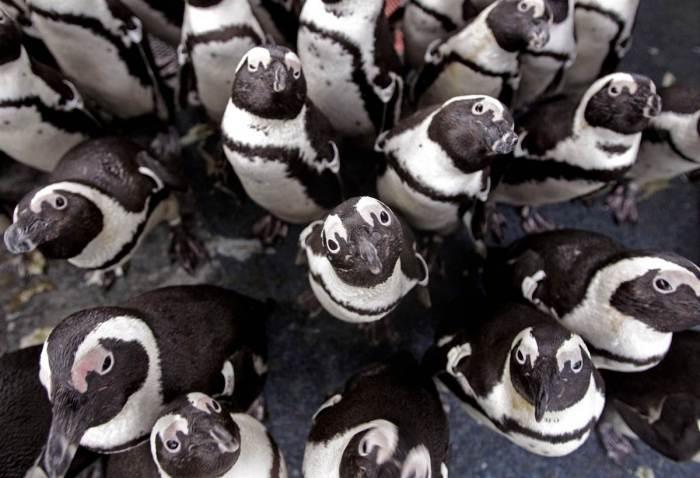Африканские пингвины, спасённые после разлива нефти в Кейптауне, сгрудились, чтобы согреться