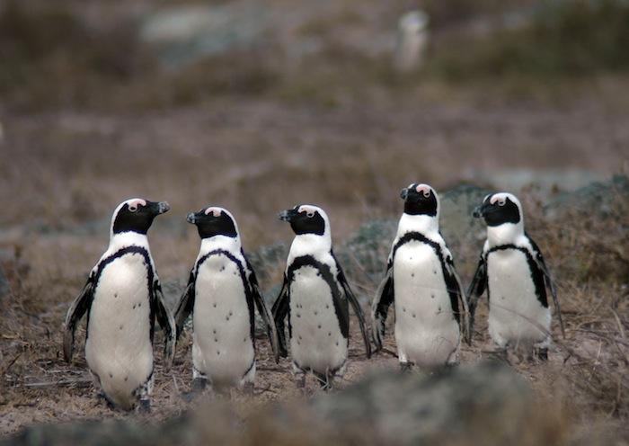 В естесственных условиях ареал обитания африканских пингвинов — побережье Южной Африки и Намибии и близлежащие острова в районе холодного Бенгельского течения.
