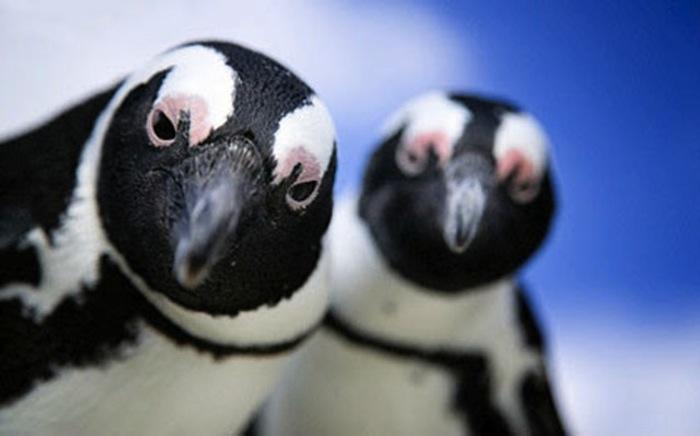Пингвины не забывают и не прощают