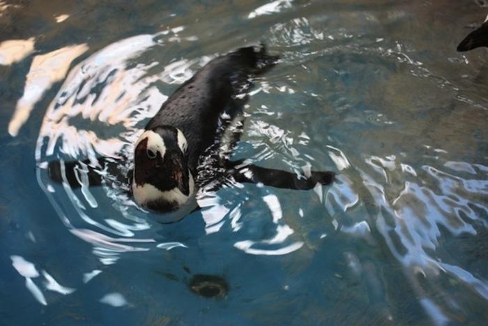 Африканский пингвин осваивается в Красноярском парке флоры и фауны