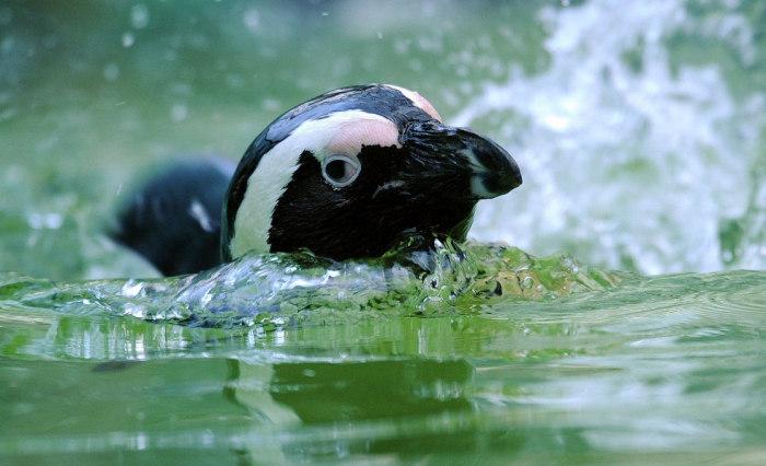 Пингвины в воде могут развивать скорость до 20 км/ч, нырять глубже 100 м и задерживать дыхание на 2—3 минуты