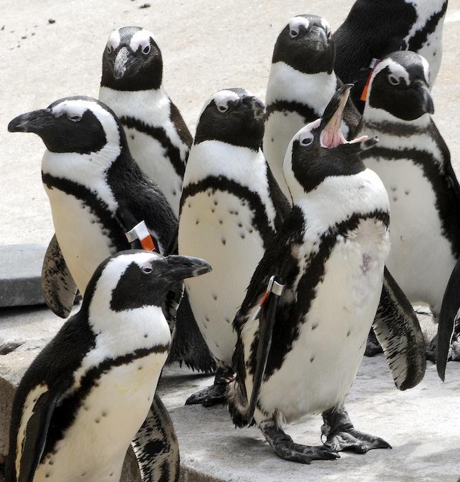 Африканские (или очковые) пингвины на пляже