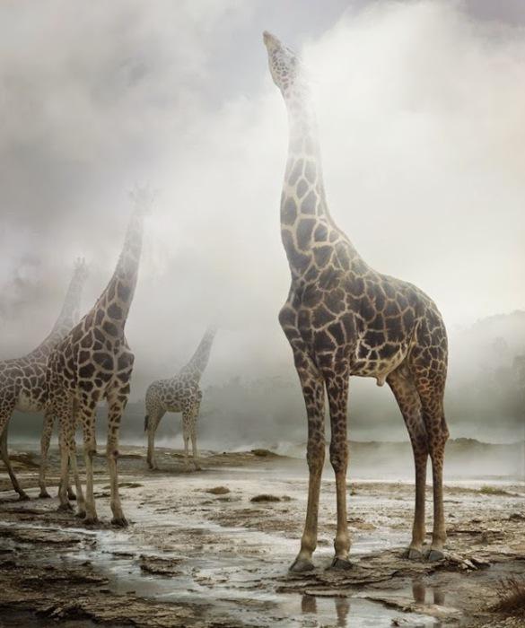 Жирафы в тумане на снимке от Симена Йохана (Simen Johan).