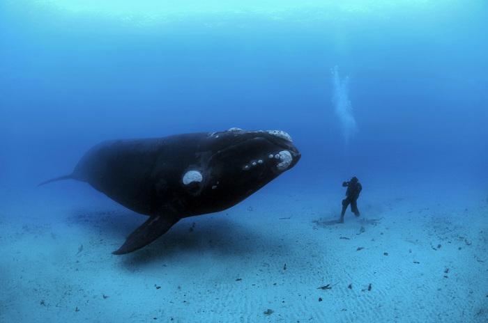Завораживающие снимки огромного кита от Брайана Скерри (Brian Skerry).