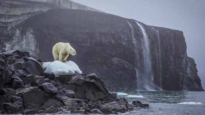 Белый медведь на фоне водопада.