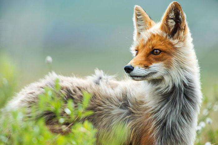 Фотографии лис от Ивана Кислова (Ivan Kislov ).