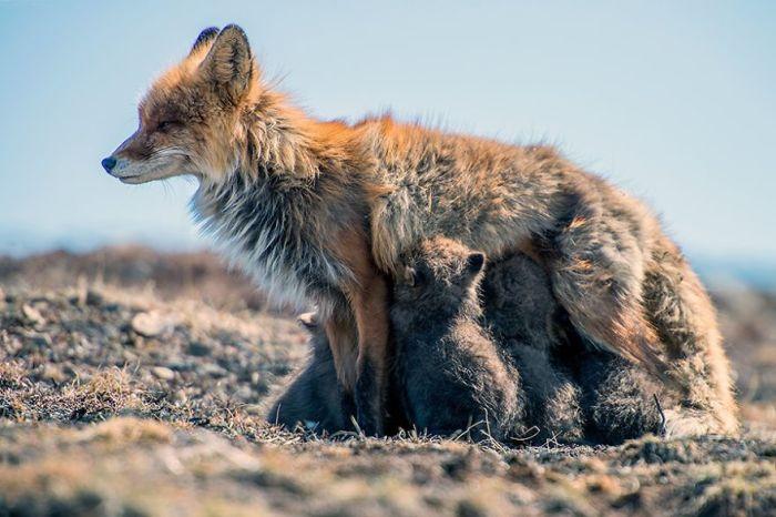 Лисица кормит маленьких лисят.