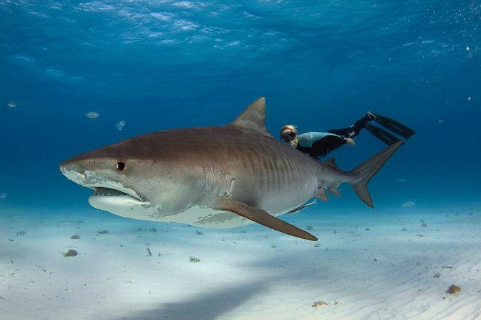 Подводные прогулки с акулами.