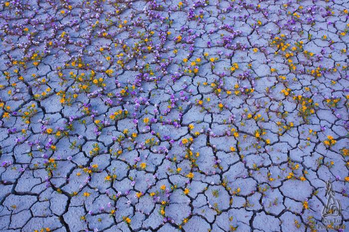 Необыкновенные снимки цветущей пустыни от Guy Tal.