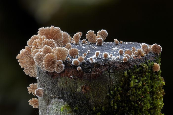 Schizophyllum commune.