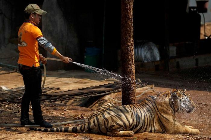 Водные процедуры хищников.