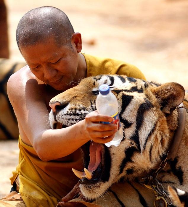 Бесстрашная игра с тигром.