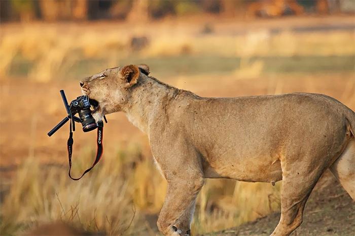 Львица уносит фотоаппарат.