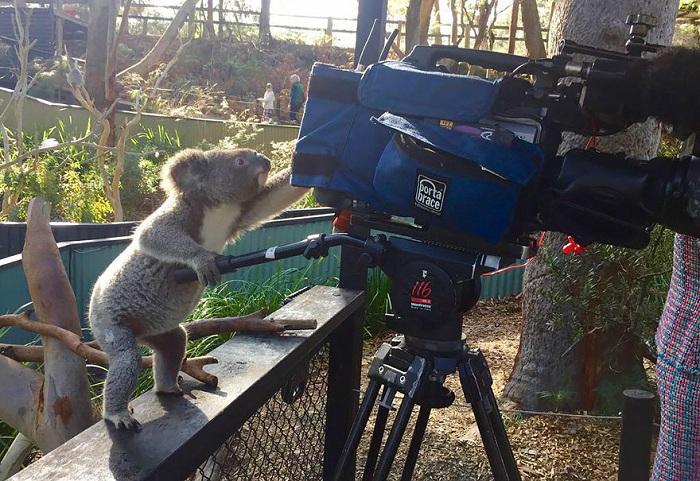 Забавная фотография с коалой.