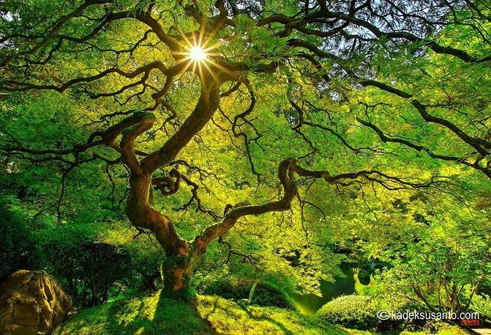 Maple Tree. Лето.