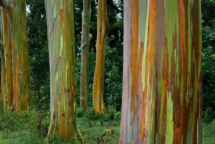 Радужный эвкалипт, растущий на островах Новой Гвинеи.