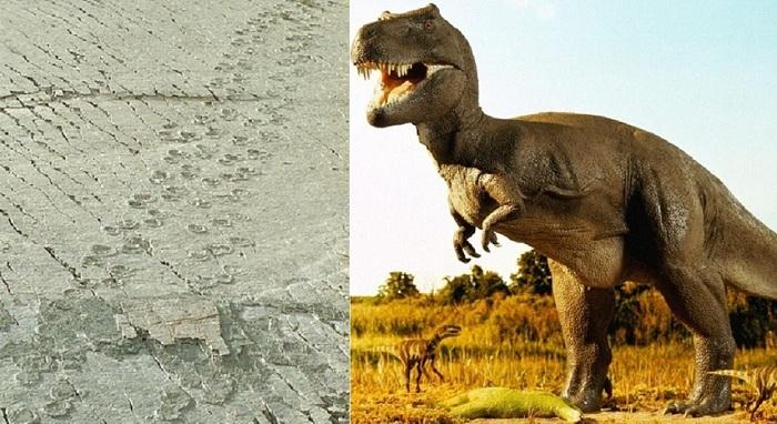 Следы тираннозавра возрастом 68 млн. лет.