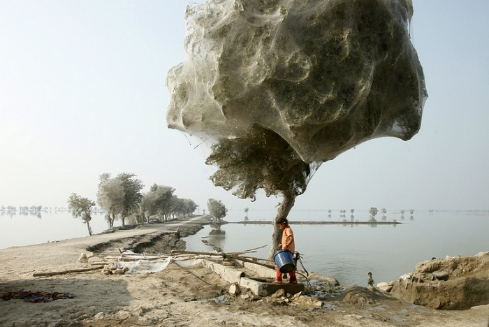 Деревья, окутанные паутиной (Пакистан).