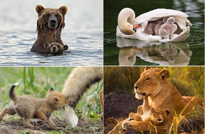 Родительская забота в дикой природе.