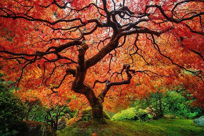 Maple Tree. Осень
