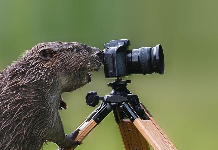 Бобер исследует фотоаппарат.