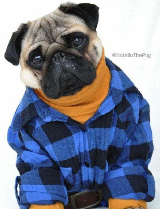 Мопс в модной одежде.
