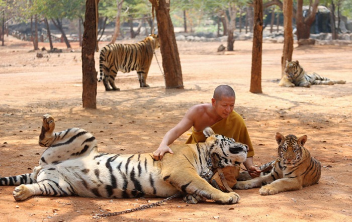 Тигриные игры.