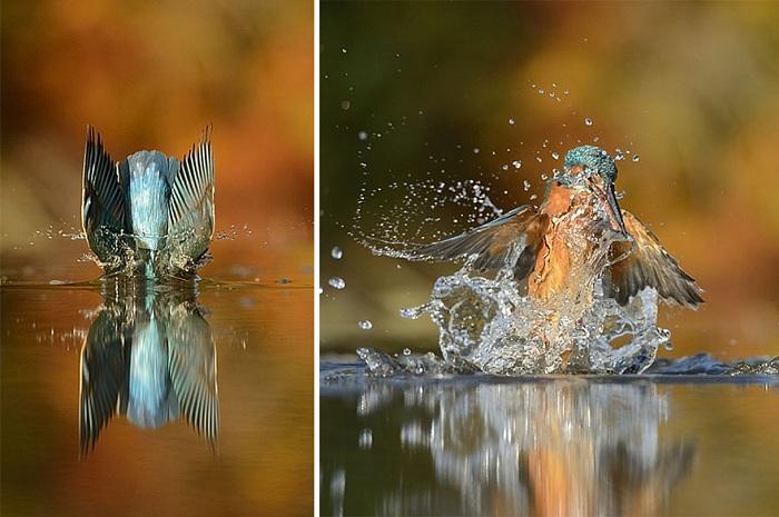 Удивительный кадр зимородка.
