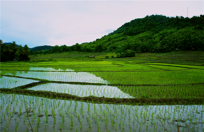 Рисовые поля у реки Меконг.