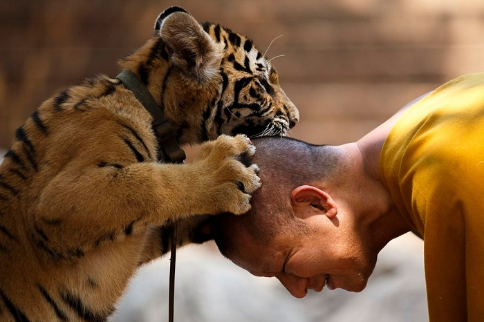 Тигренок играет с монахом.