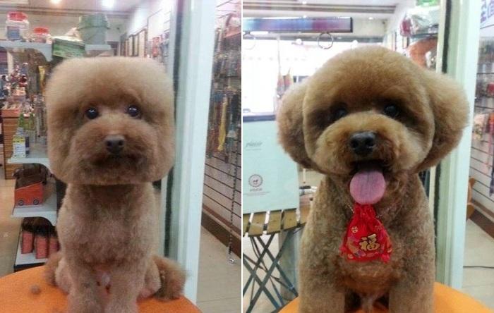 Жители Тайваня делают своим собакам квадратные стрижки.