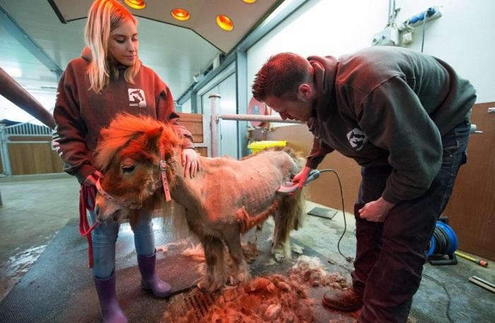 В приюте шетлендского пони подстригли. | Фото: ogogolmogol.ru