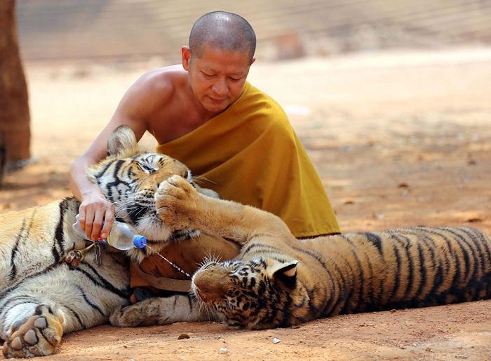 Монах играет с хищниками.