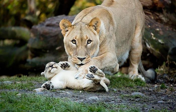Львица играет со своим детенышем.