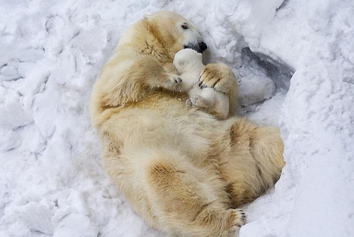 Полярные медведи.