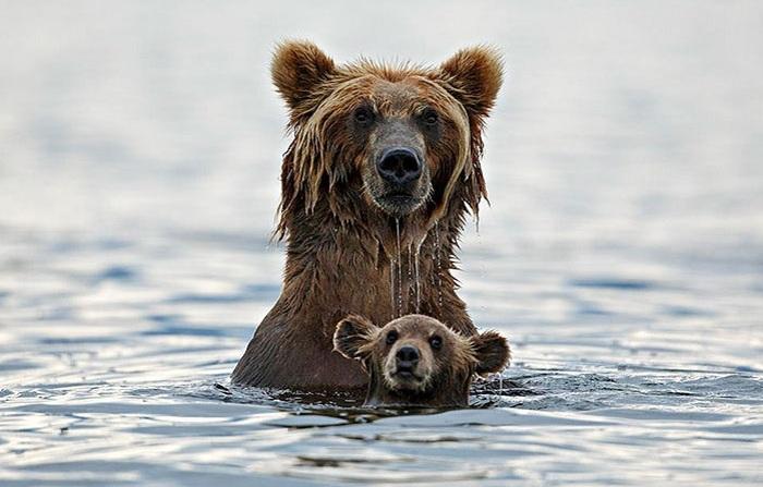 Медвежонок купается с мамой.