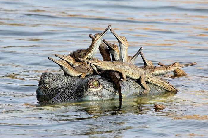 Крокодилье потомство.