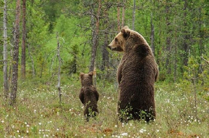 Медвежонок гуляет с мамой по лесу.