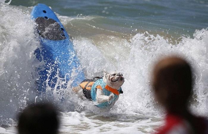 Соревнование по серфингу среди собак.