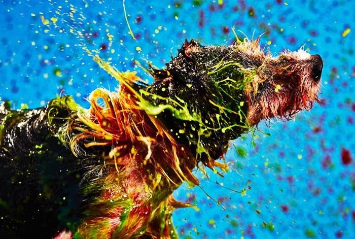 Собаки «рисуют» картины, отряхивая краску с шерсти.