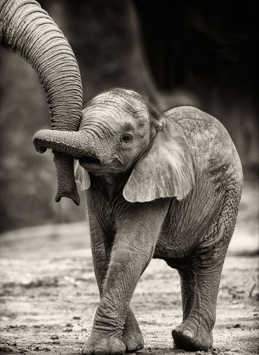 Маленький слоненок держится за мамин хобот.
