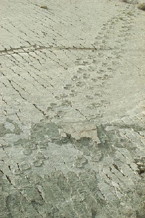 Следы детеныша тираннозавра Джонни Уокера длиной 347 метров. | Фото: thevintagenews.com.