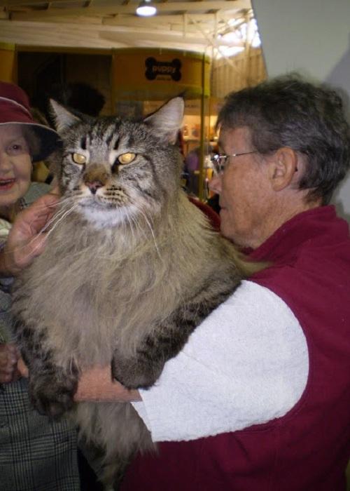 Коту с таким размером невозможно остаться незаметным.