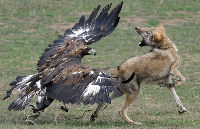 Ни одно представление кыргызов не обходится без участия орлов.