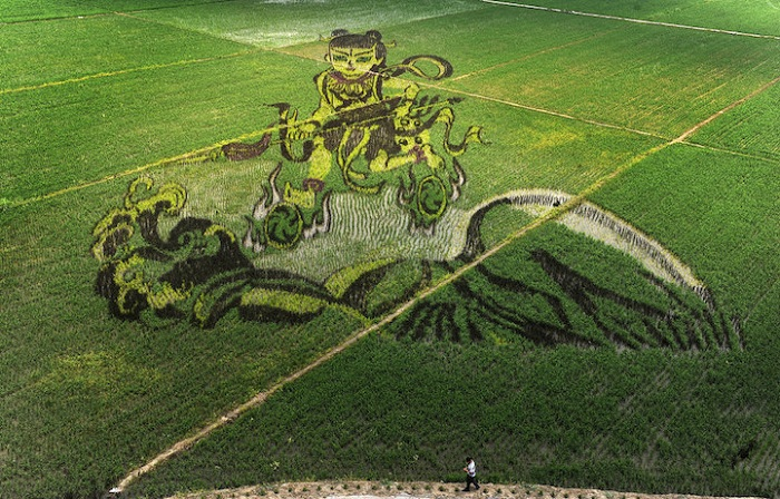 Картина, «выращенная» на рисовом поле.