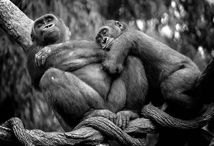 Равнинные гориллы.