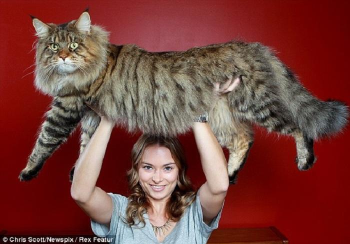 Main-coon — американская енотовая кошка.