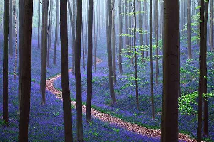 Бельгийский лес Hallerbos.